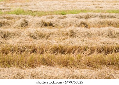 rice straw row after passing of harvest car