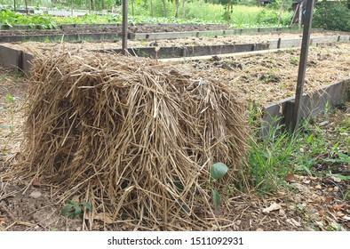 Rice straw in vegetable garden , the  gardener using  rice straw cover the ground on vegetable plots.