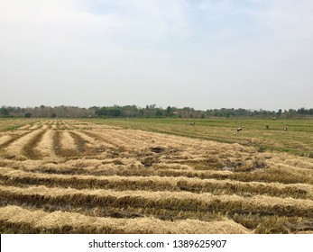 Rice stubble and a large number of birds