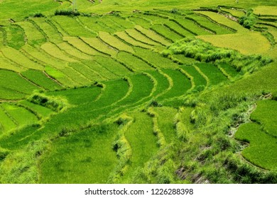 Rice terrace in the fertile Punakha Valley in the Kingdom of Bhutan in Summer