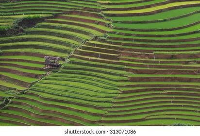 rice terrace field in vietnam