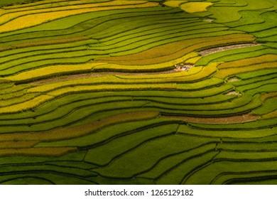 Rice terrace, harvest season in Mu Cang Chai, Yen Bai Province, Vietnam