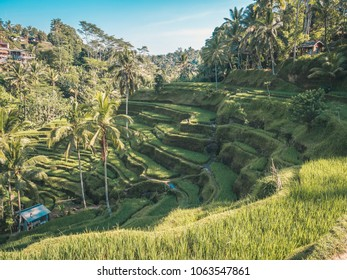 Rice terrace and palms at early morning in Bali, Indonesia. Vertical image. Asian style. Rice terrace on Bali concept.