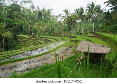 Rice terrace view with hut in foreground at Bali, Indonesia