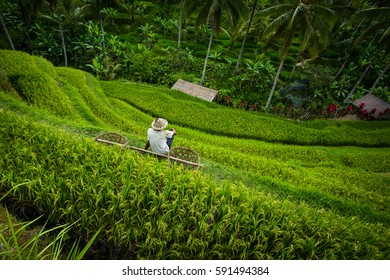 Rice terrace worker with baskets - Tegallalang, Bali
