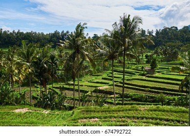 Rice terraces. Green Asian oasis with trees and bushes, rows for farming and agriculture.