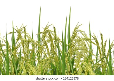 Rice white background