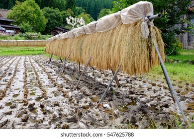 rice winnowing waiting for ripe