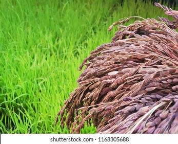 Riceberry in the field. Riceberry is a registered rice variety from Thailand, a cross-breed of Jao Hom Nin, a local  purple rice and hom mali rice. It has been a popular brown rice due to its healthy