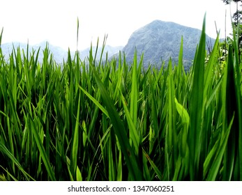 ricepaddy plants and background nature