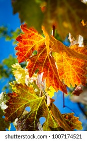 Rich colored vine leaves on a sunny autumn day