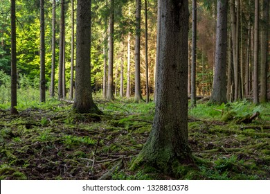 Rich coniferous forest in sunset with spruce and pine trees,Bialowieza Forest,Poland,Europe