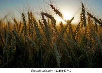 rich golden barley rye field growth in sunset