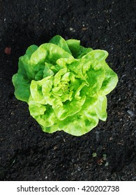 Rich green garden salad with drops of water on its leaves, dark brown soil in the background.