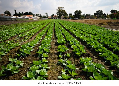 Rich green organic agricultural field growing lettuce