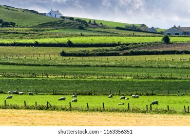 Rich green rolling hills and sheep in Northern Ireland.