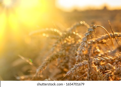 Rich harvest Concept. Wheat field with ears of golden wheat close up. Beautiful Agricultural Field Sunset Landscape. Rural nature scenery background of ripening ears of meadow wheat.