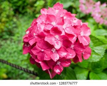 Rich pink hydrangea flower in full bloom under the rain