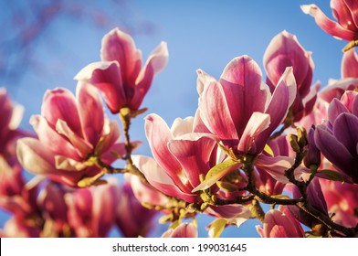 Rich red magnolia flowers against a deep blue sky