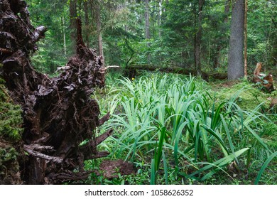 Rich wetland with norway spruce in background and Sweet Flag in foreground,Bialowieza Forest,Poland,Europe