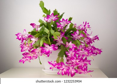 A richly blooming Christmas cactus in a white flower pot.Pink blooming Christmas cactus isolated on a white background.