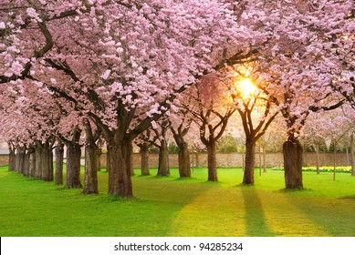 Richly blossoming cherry tree garden on a lawn with the sun shining through the branches