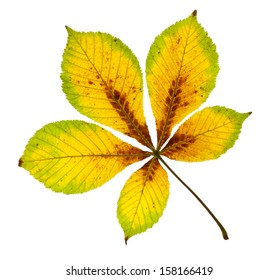 Richly Coloured Horse Chestnut Leaf isolated on white with clipping path