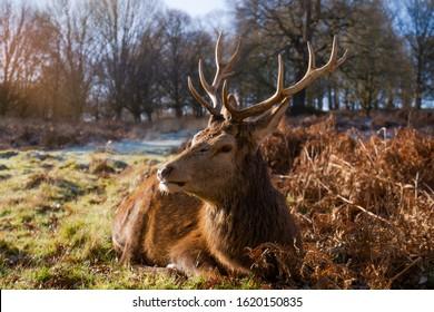 Richmond Royal Park's Deers, London, UK.