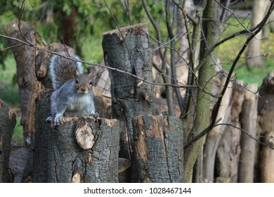 Richmond,London,UK.January,28,2017,A European Grey Squirrel on a tree stump in a public park .