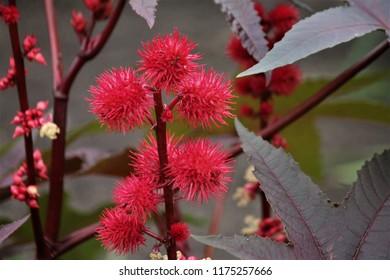 ricinus communis plant with seedpods