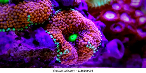 Ricordea mushroom - one of the most beautiful mushroom coral for saltwater reef aquariums