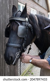 Rider attaches chain under the chin of a Friesian horse with a halter, bit and leather blinkers on the head. The blinker restrictes the field of vision. Focus on the blinker