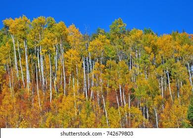 A ridge of aspen trees display Fall Colors in Colorado