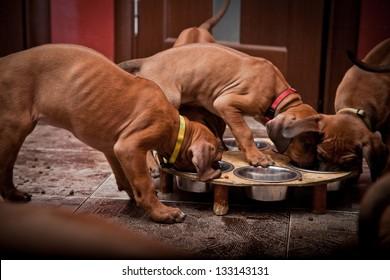 Ridgeback dog puppies