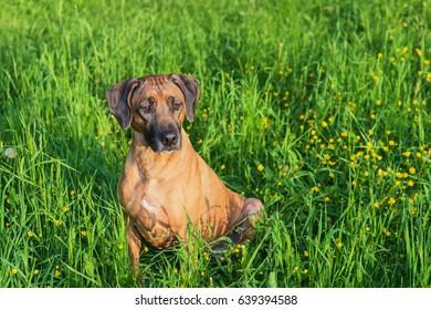 ridgeback hunting dog