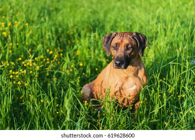 Ridgeback hunting dog. Summer on a background of green grass.