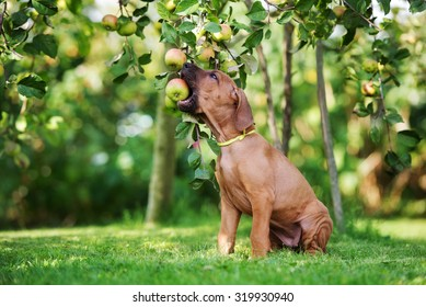ridgeback puppy biting an apple from a tree