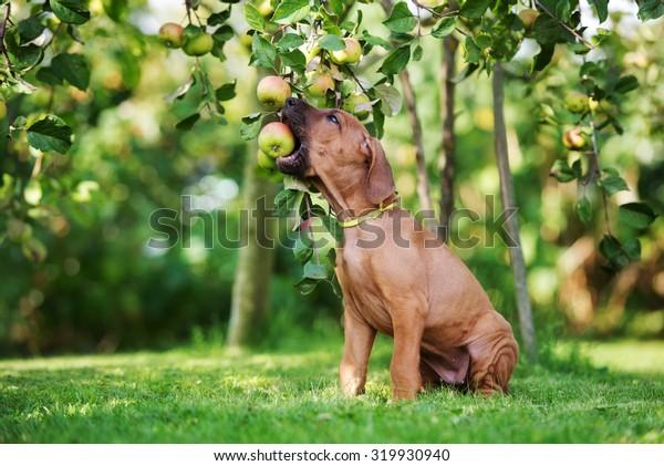 ridgeback puppy biting an apple from a tree