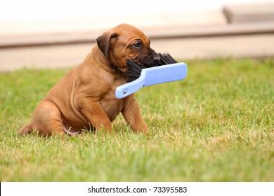 ridgeback puppy playing with broom