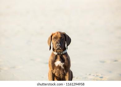 Ridgeback puppy playing on the beach in Hermanus