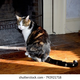 Ridgefield CT USA January 2018: Tabby cat with cute face with white chest and paws sitting by the cold fireplace on the wooden floor in sunlit room looking sad.