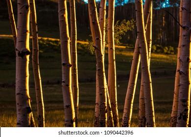 RIDGWAY, COLORADO - Aspens at Sunset, Hastings Mesa Colorado near Ridgway