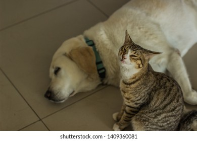 ridiculous cat face portrait on sleeping Labrador funny domestic animals scene on home floor