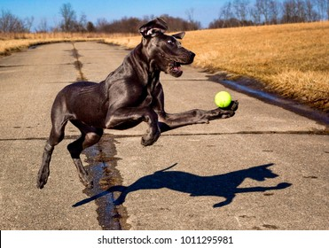 A ridiculous Great Dane puppy reaches for a ball in mid air looking silly