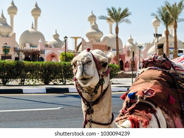 A riding camel in a bright blanket on the sunny street of Sharm El Sheikh