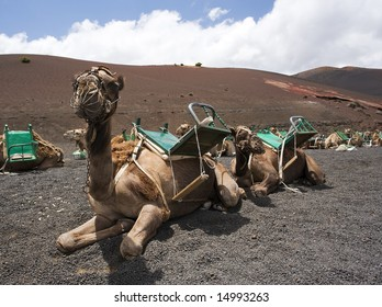 riding camels waiting in line for tourists at national park of Lanzarote