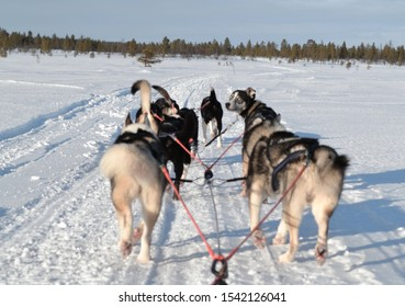 riding a dog sled in the harsh Lapland
