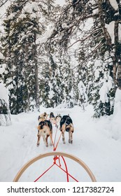 Riding husky dogs sledge in snow winter forest, Finland, Lapland