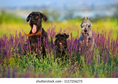 Riesen mittel  zwerg schnauzer dog close up portrait in violet flowers