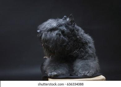 Riesenschnauzer  breed dog on a dark background